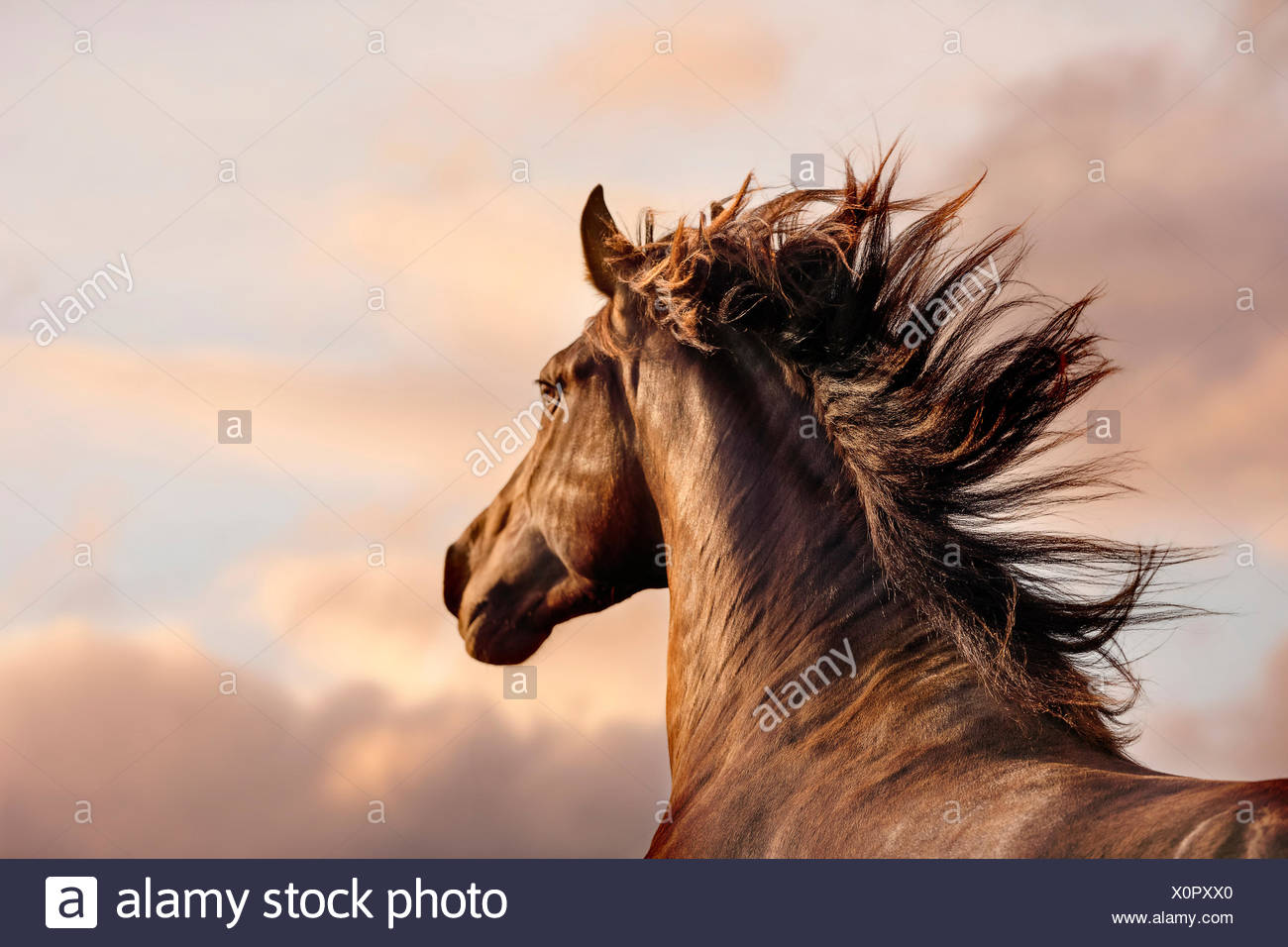 Spanish Horse, Andalusian. Portrait of dun stallion in evening light. Switzerland - Stock Image