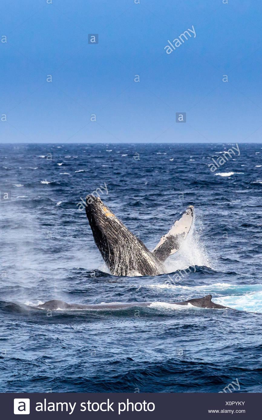 Breaching behavior of a humpback whale, Megaptera novaeangliae. - Stock Image