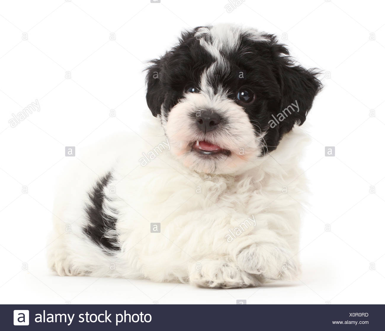 White Cavapoo High Resolution Stock Photography And Images Alamy