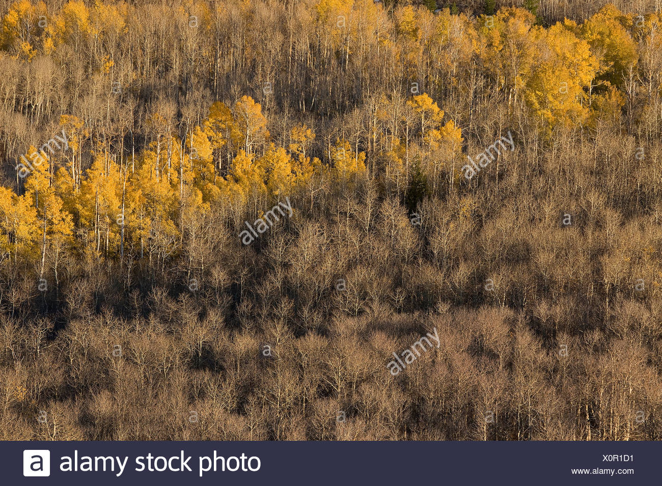 An aspen forest of yellow autumn leaves in the Sierra mountains of California - Stock Image
