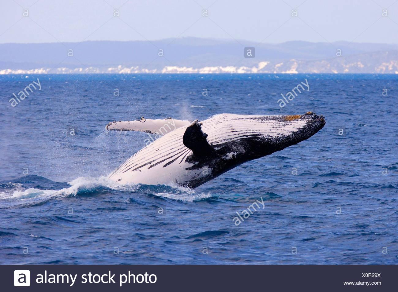 humpback whale (Megaptera novaeangliae), breaching female whale in front of Fraser Island's coast, Australia, Queensland, Hervey Bay Marine Park - Stock Image