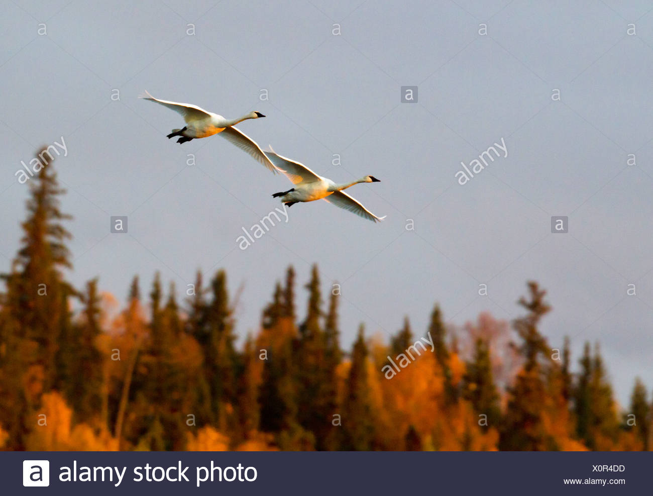 Pair of Trumpeter swans fly thru the sky above Potter Marsh near Anchorage during Autumn migration, Southcentral Alaska - Stock Image