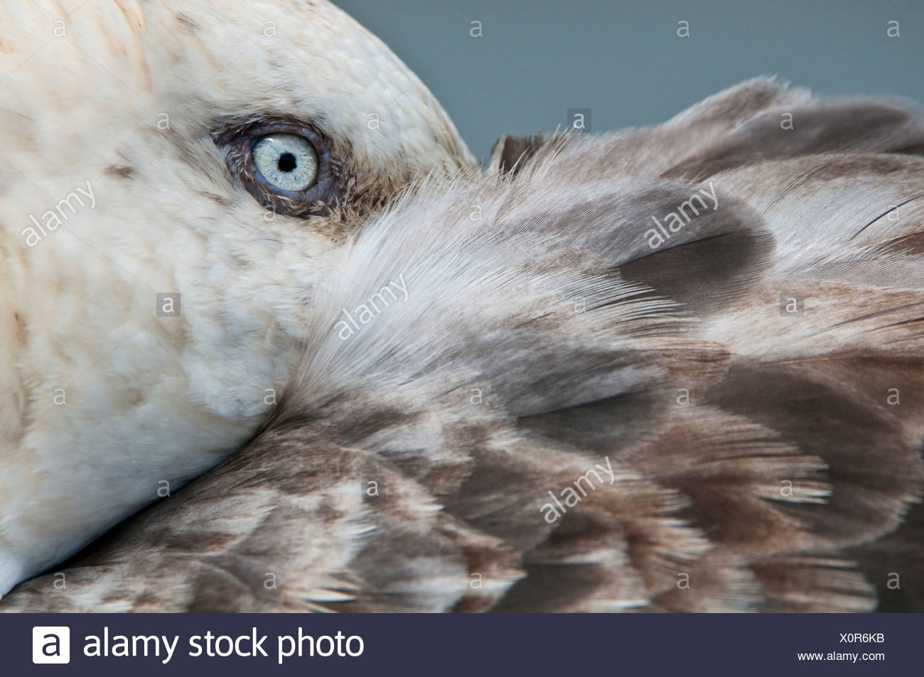 Southern Giant Petrel resting with bill tucked under its wing, Stromness, South Georgia, South Atlantic. - Stock Image