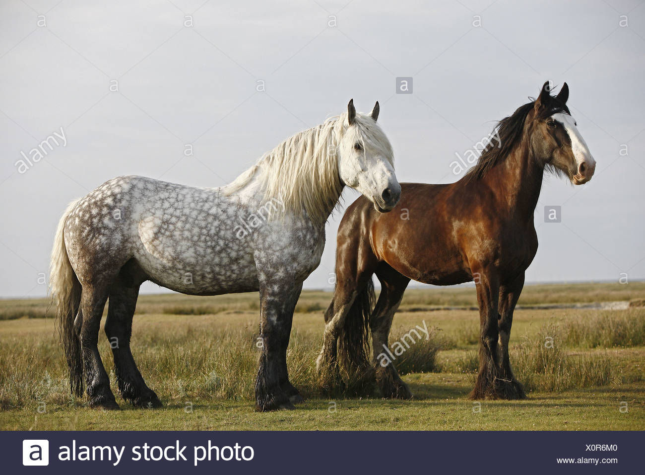 Shire Horse And Percheron Horse On Meadow Stock Photo Alamy