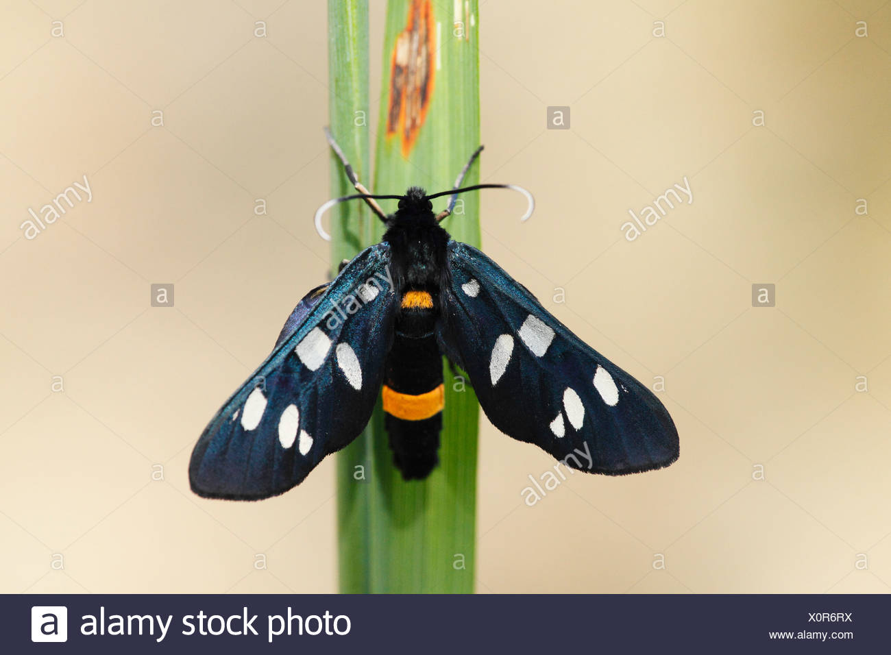 Austria, Wachau, Close up of Nine-spotted moth on stem - Stock Image