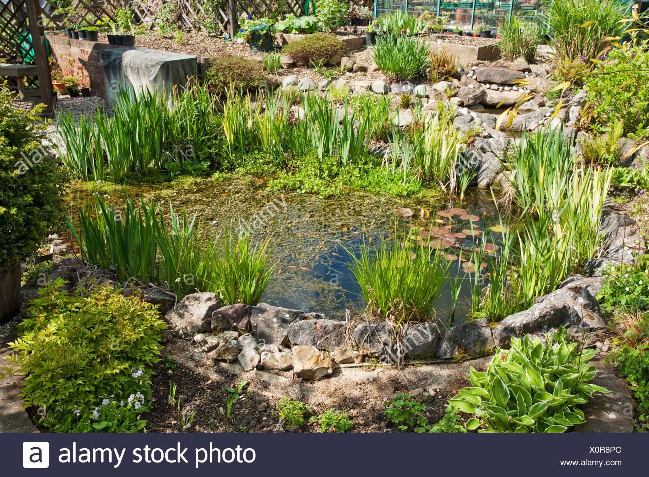 Mature landscaped garden pond in the spring sunshine, Uk - Stock Image