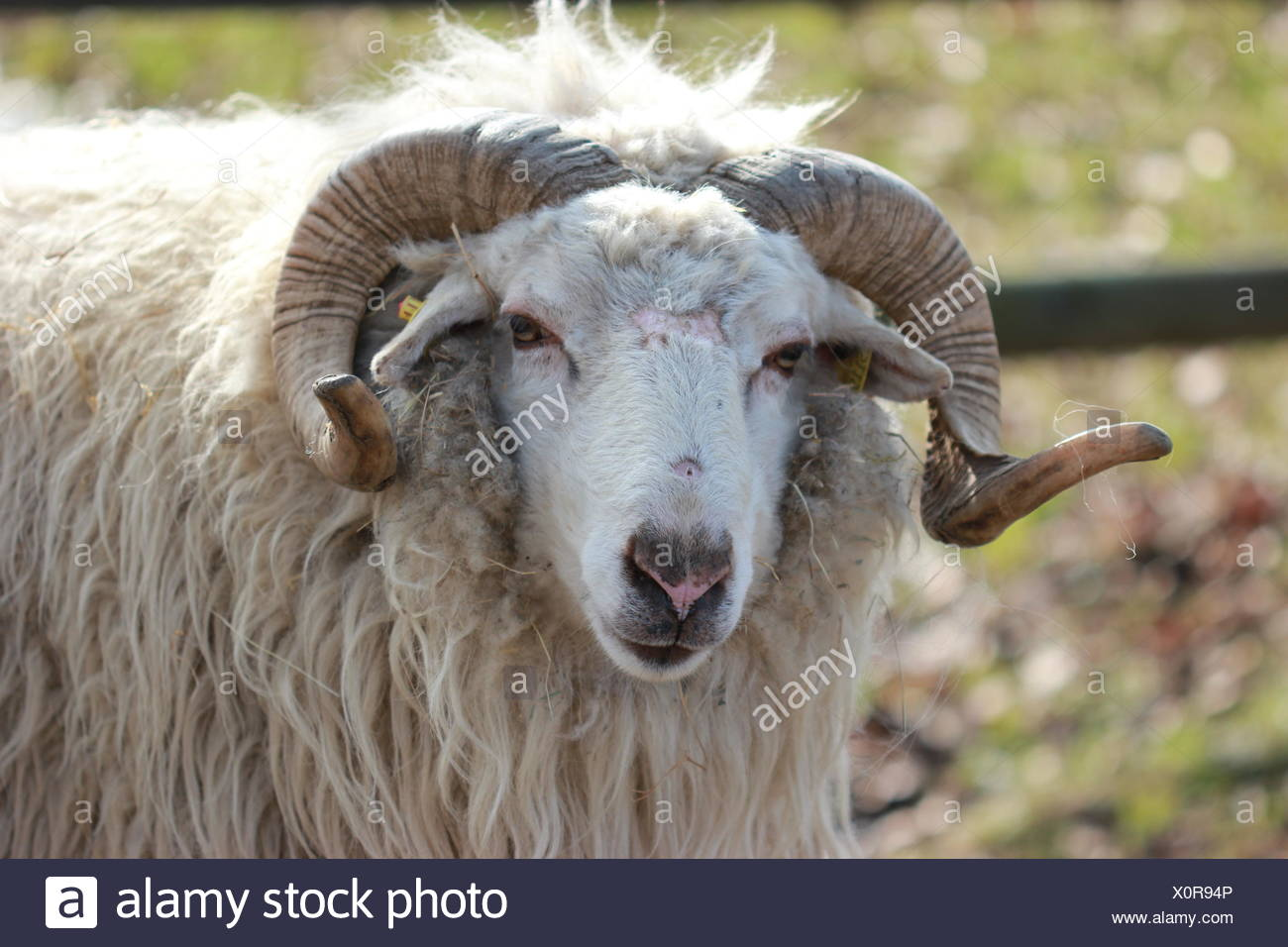 blank, european, caucasian, sheep, wool, spring, milk, cornets, twisted, meat, - Stock Image
