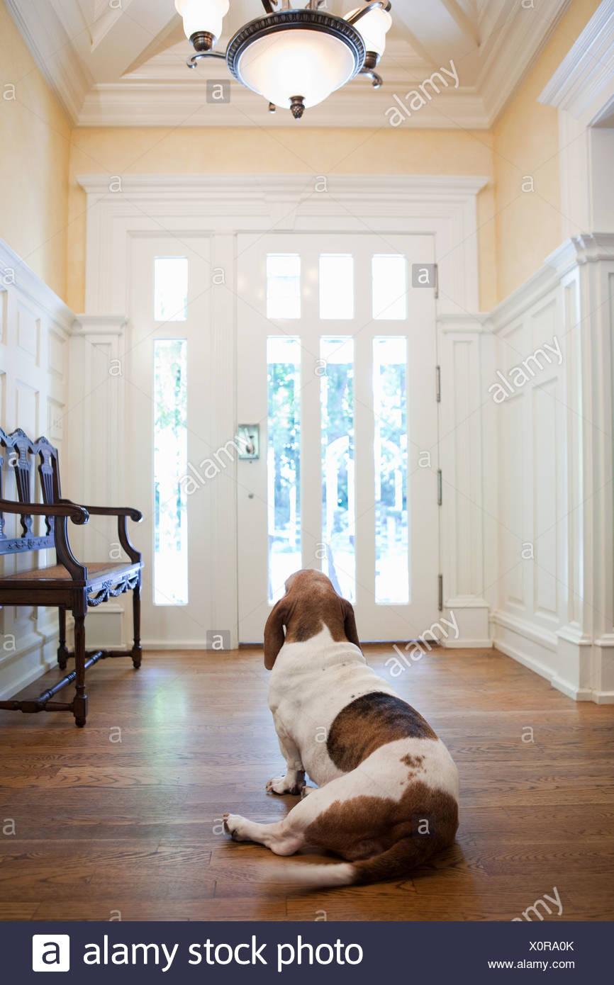 Pet dog waiting hallway house - Stock Image