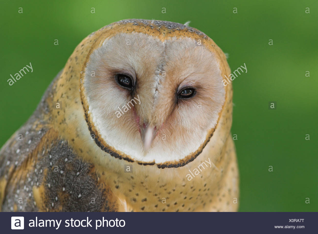 Barn Owl head detail, British Columbia, Canada. - Stock Image