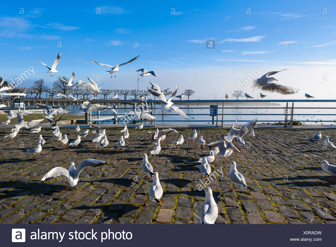 Rapperswil, Switzerland, Europe, canton St. Gallen, lake Zurich, birds, gulls - Stock Image