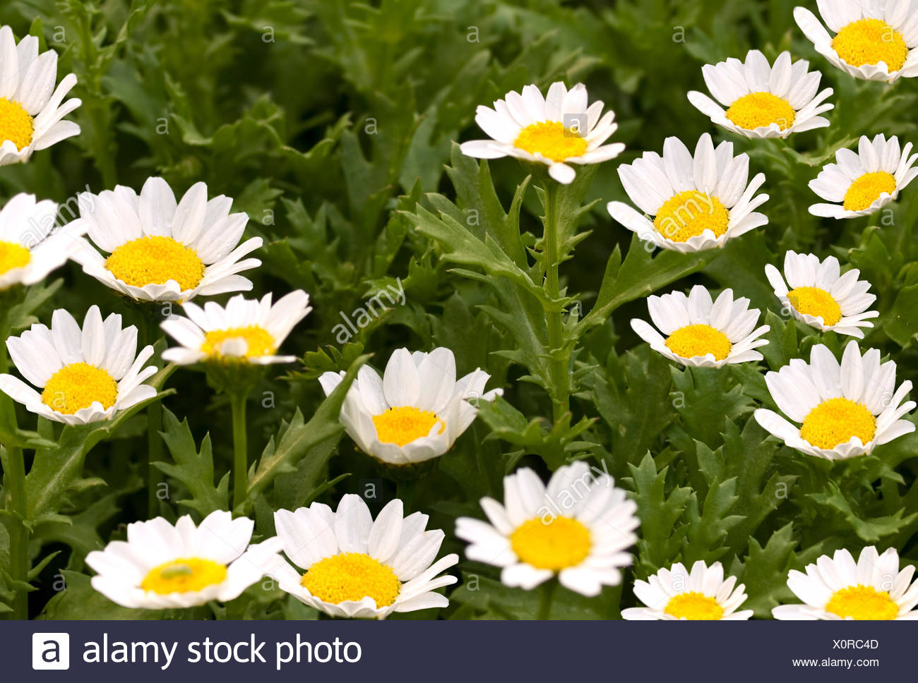 Botany daisies daisy flower green leaves nature white yellow stock flower flowers plant spring daisy meadow white garden flower plant bloom stock image izmirmasajfo