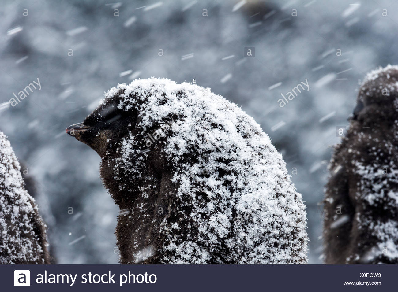 A fluffy Adelie Penguin chick covered in snow during a snow storm in Antarctica. Stock Photo