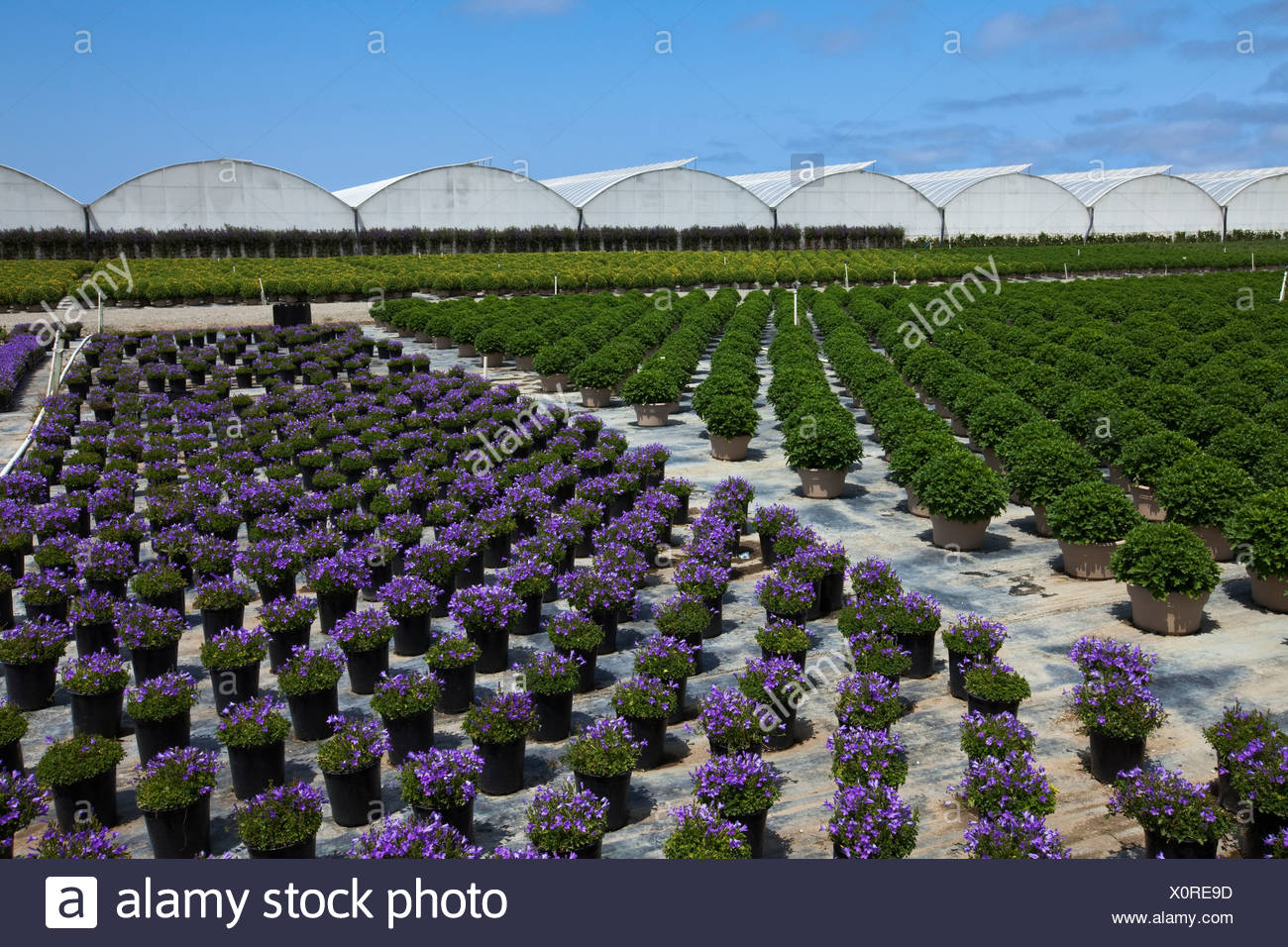 Potted ornamentals, bedding plants and shrubs at a horticultural nursery and greenhouse / Salinas, California, USA. - Stock Image
