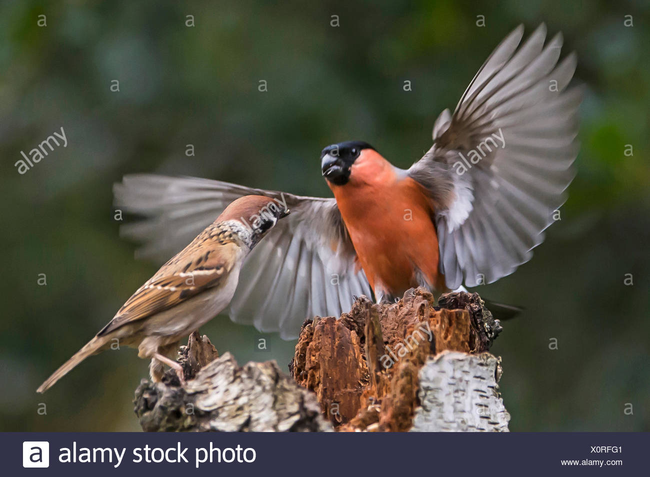 bullfinch, Eurasian bullfinch, northern bullfinch (Pyrrhula pyrrhula), fighting with field sparrow, Germany, North Rhine-Westphalia - Stock Image