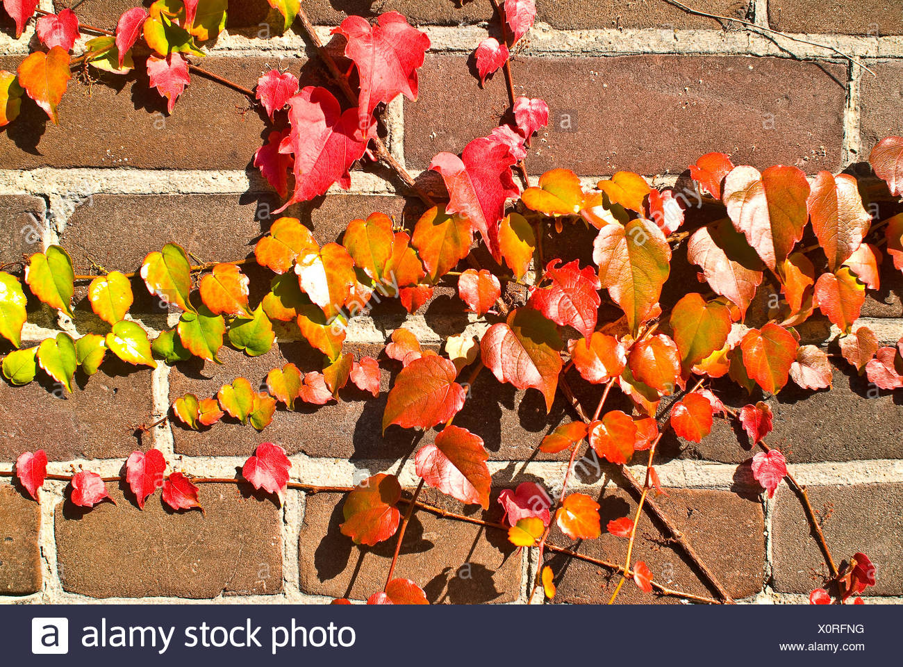 Ivy in autumn Stock Photo