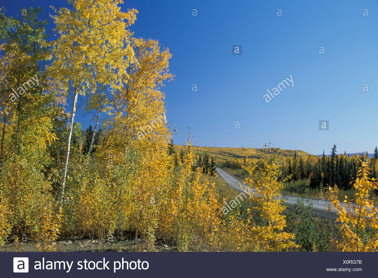 White Mountains, BEI, Livengood, Alaska, USA, fall, autumn, trees, yellow, colorful, highway, clear sky, open - Stock Image