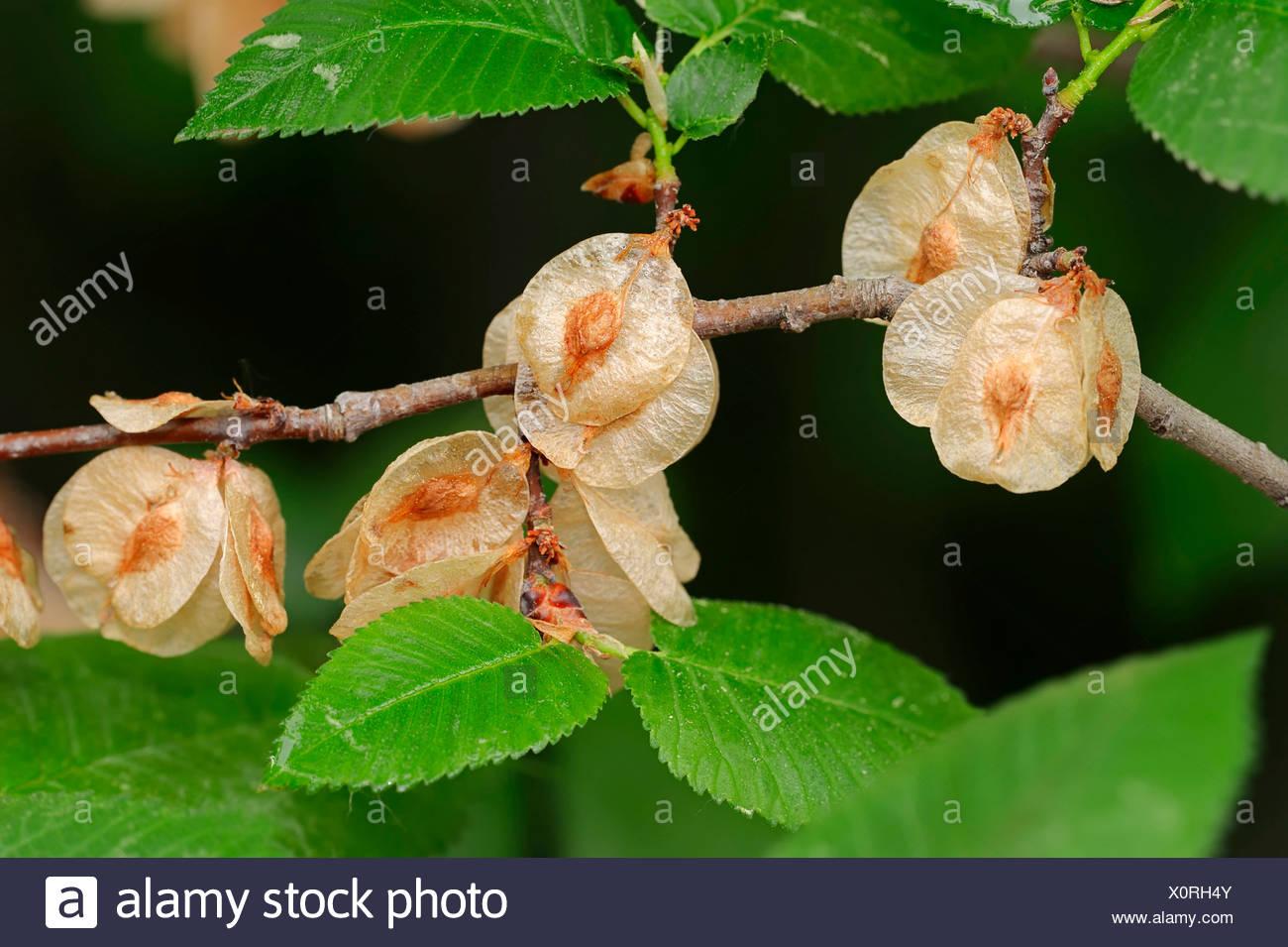 European White Elm or Fluttering Elm (Ulmus laevis), branch with fruit, Provence, southern France, France - Stock Image