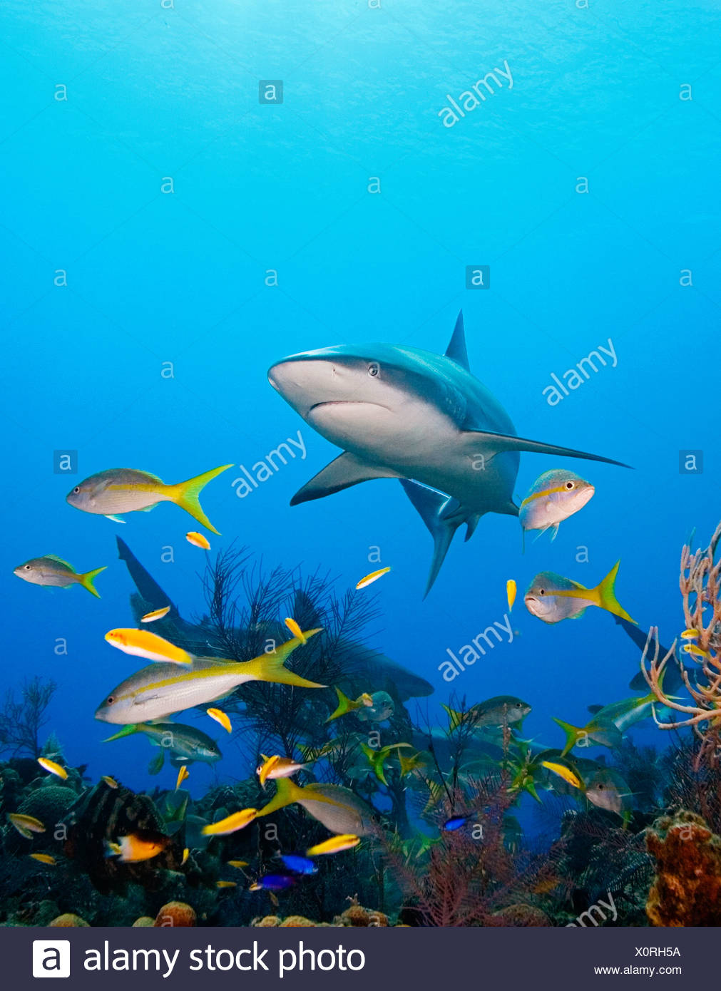 Caribbean Reef Sharks over coral reef Carcharhinus perezi West End Atlantic Ocean Bahamas USA - Stock Image