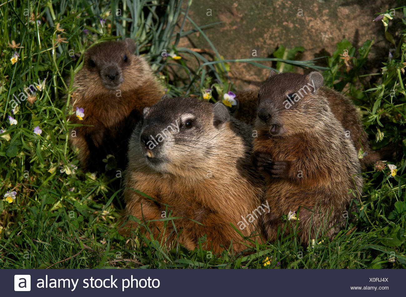 Mother and baby woodchucks ((Marmota monax) near den entrance with spring flowers all around. North America. - Stock Image