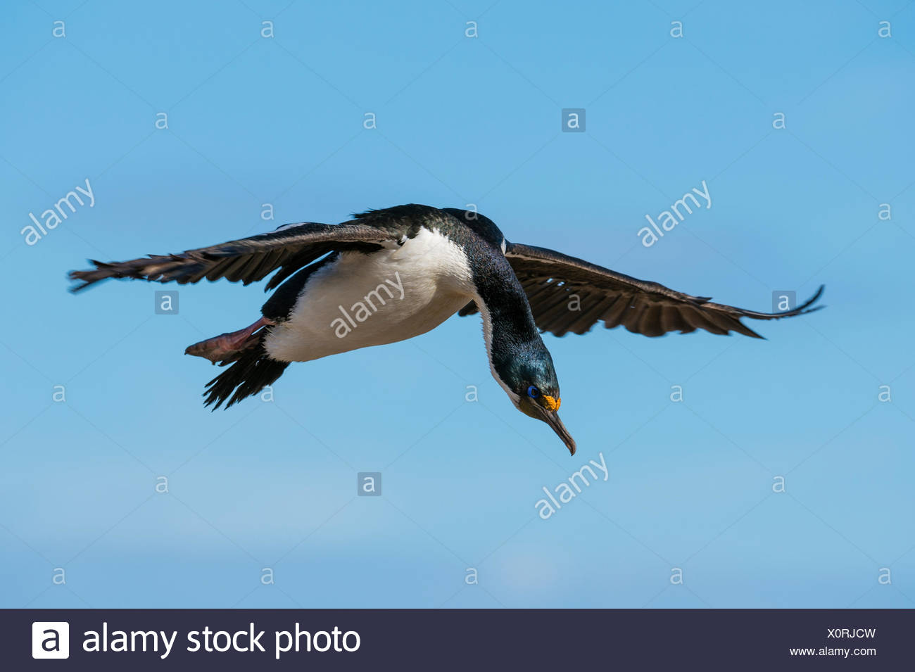 An imperial shag, Leucocarbo atriceps, in flight. - Stock Image