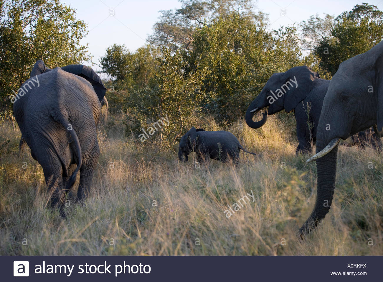 Herd of Elephants (Loxodonta africana) in bush, South Africa - Stock Image