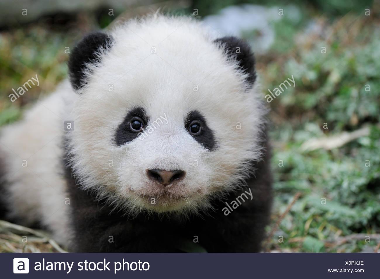 Head portrait of Giant panda  (Ailuropoda melanoleuca) cub aged 5 months. Wolong Nature Reserve, Wenchuan, Sichuan Province, China. Captive. - Stock Image