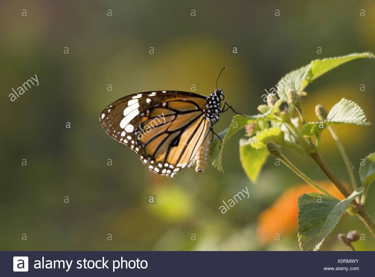 MONARCH BUTTERFLY Danaus plexippus Milkweed butterfly (subfamily Danainae), in the family Nymphalidae. Closeup on lantana Stock Photo