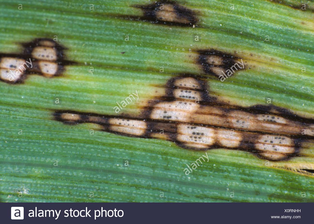 Halo spot Selenophoma donacis lesions pycnidia on a barley leaf - Stock Image