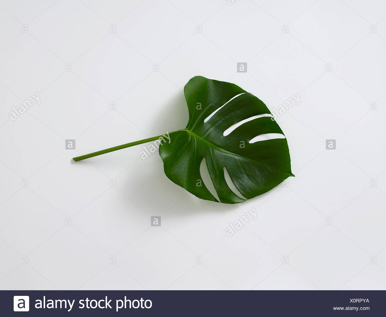 Monstera leaf on white background, close-up - Stock Image