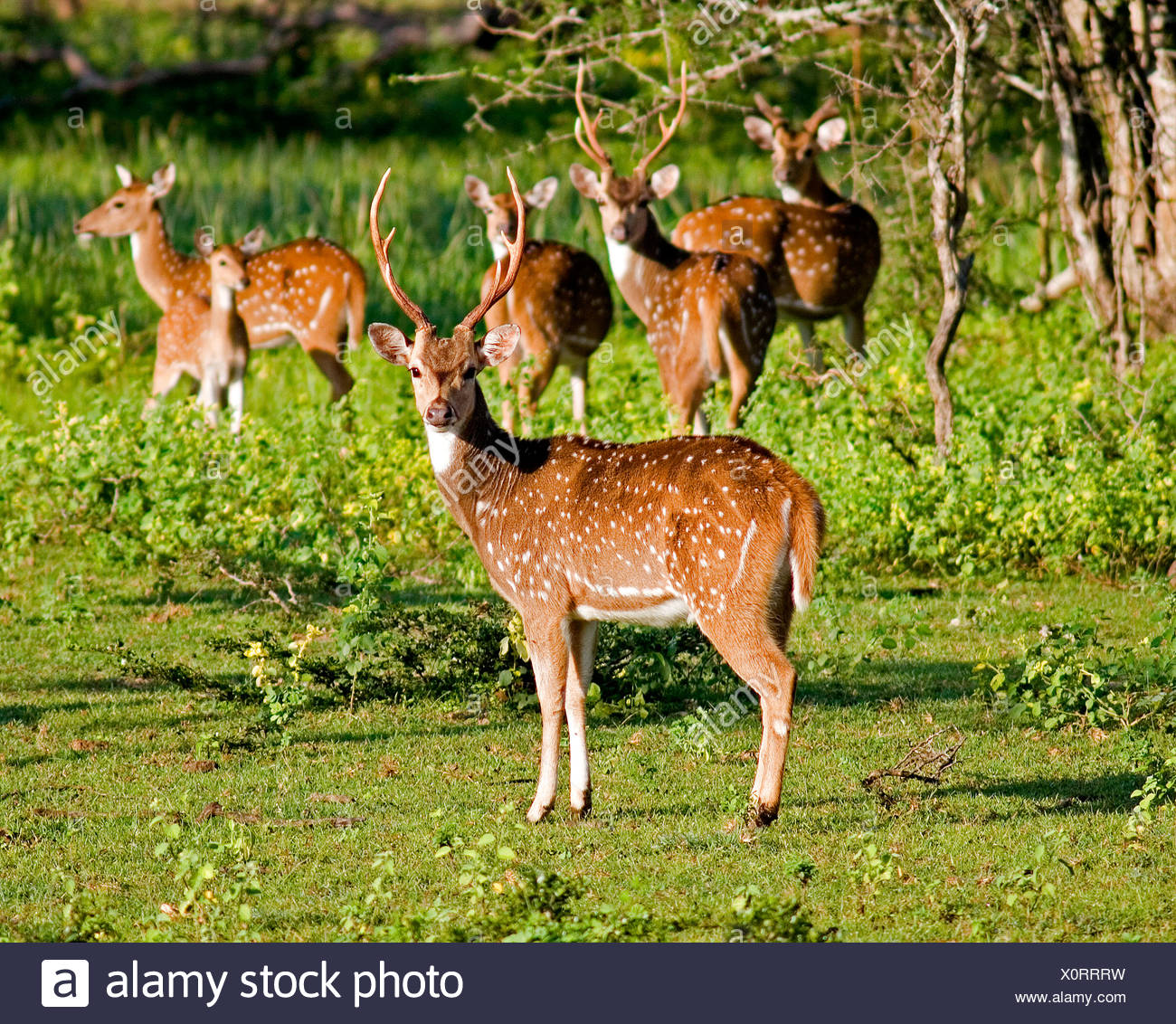 Spotted deer axis axis Sri Lanka - Stock Image