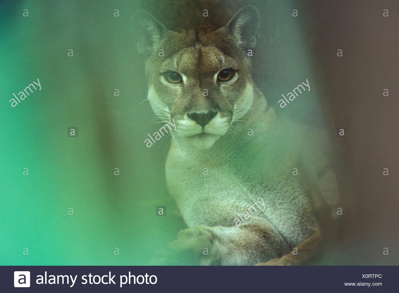 Wild Puma (Felis concolor), Braulio Carrillo NP, Costa Rica - Stock Image