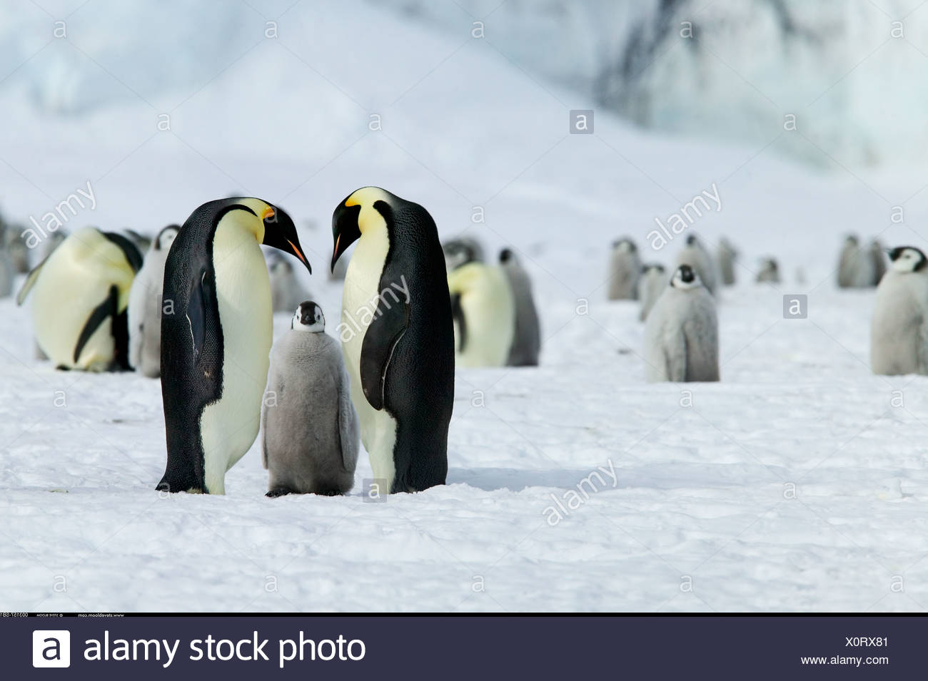 Return of young Emperor Penguin s parents Coulman Island Antarctica - Stock Image
