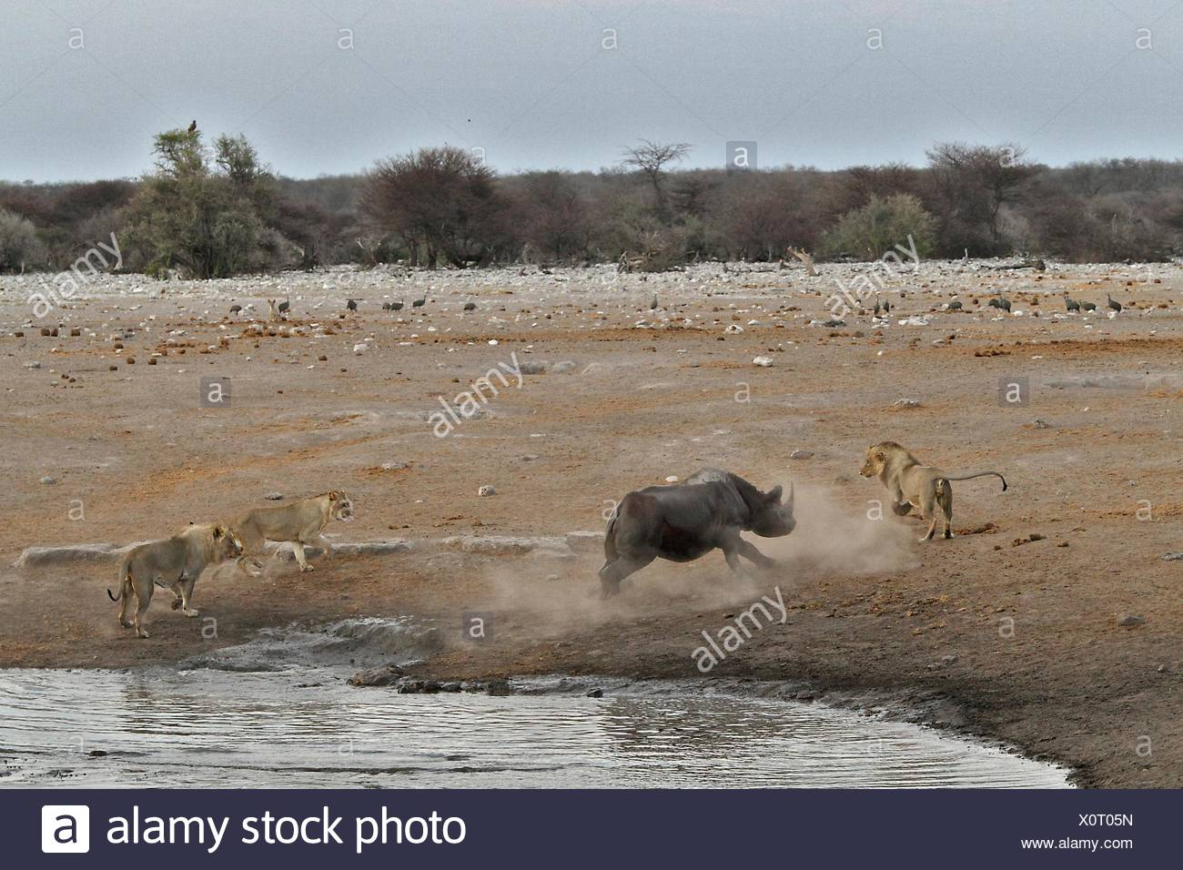 This Black Rhino has stumbled into a cavity and tipped into the water point. After many difficulties given the sheer submerged - Stock Image