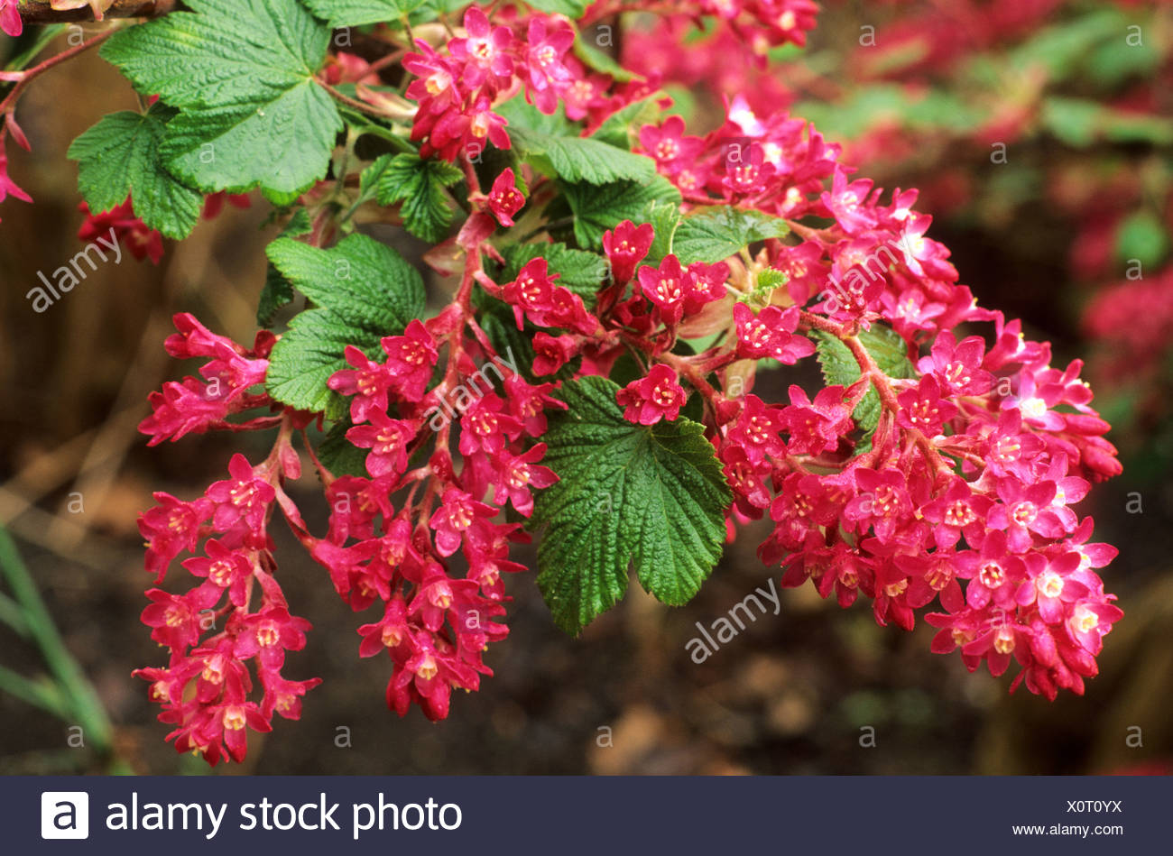 Ribes sanguineum 'King Edward VII', flowering currant bush, red flowers, garden plant currants - Stock Image