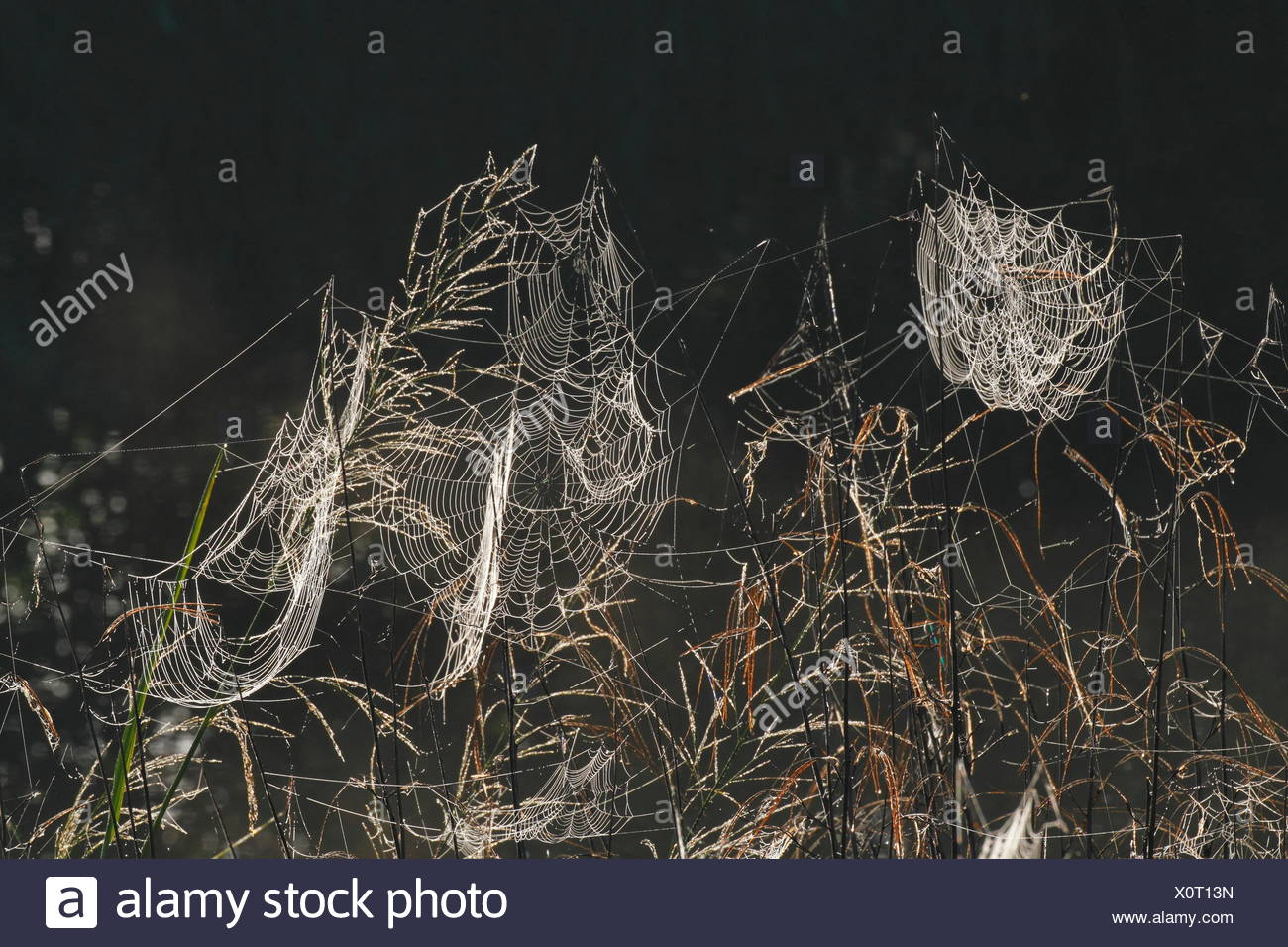 Orb spider webs in morning dew. - Stock Image