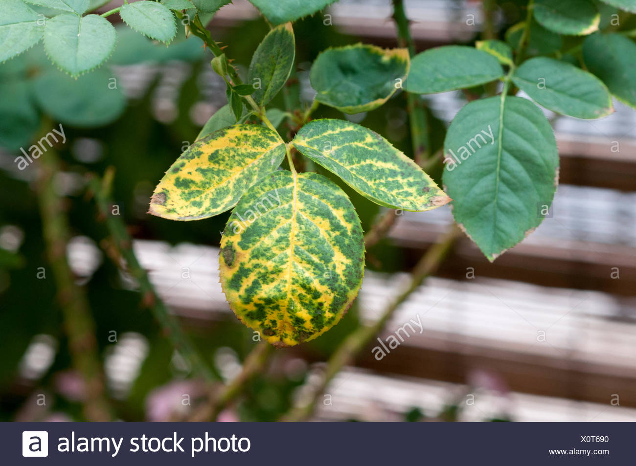 Rose leaf with Mosaic Virus symptoms. Net-like appearance with vein clearing shows infection by complex of virus pathogens. - Stock Image
