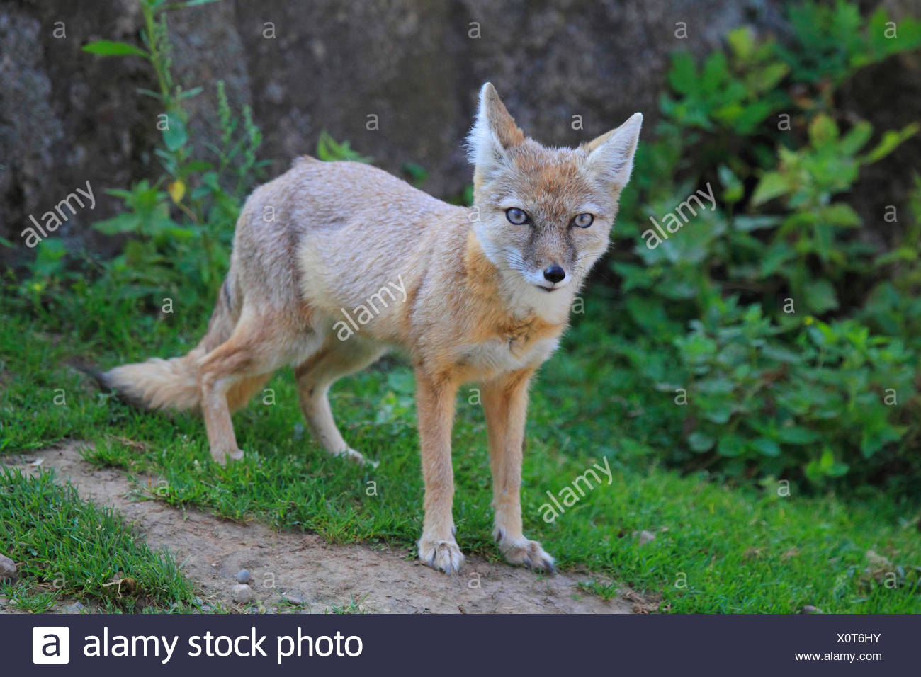 Corsac fox (Vulpes corsac), standing in a meadow - Stock Image
