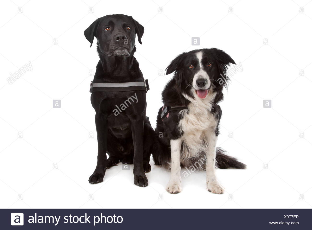 Border Collie Sheepdog And A Labrador Rottweiler Mix Stock Photo