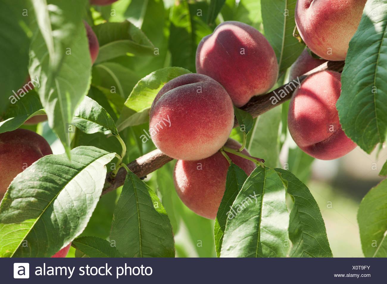 Pfirsich, Blätterzweig, Garten, Prunus persica, Rosengewächs - Stock Image