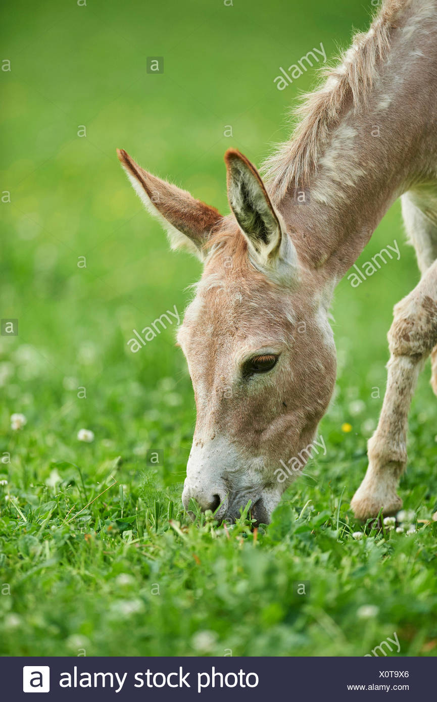 Domestic donkey (Equus asinus asinus), eight hours old donkey foal in a meadow, Germany - Stock Image