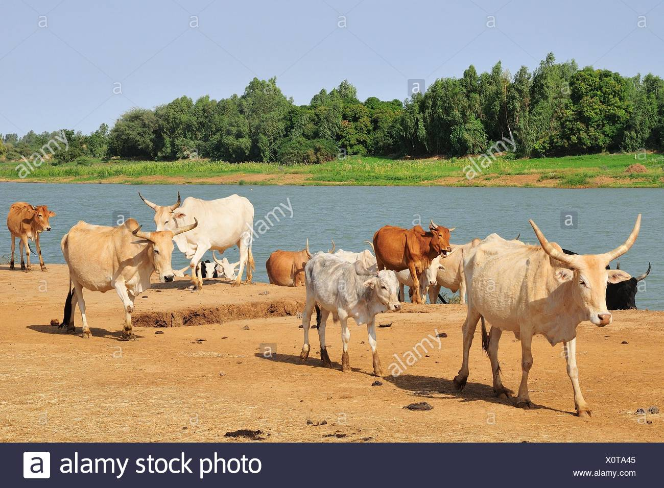 Cattle by the Senegal river, Bogue, Brakna region, Mauritania - Stock Image