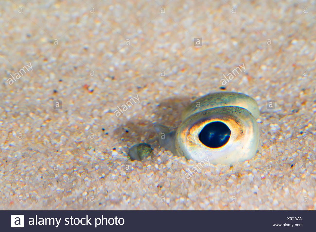 plaice, European plaice (Pleuronectes platessa), dug in the sand only the eyes can be seen Stock Photo