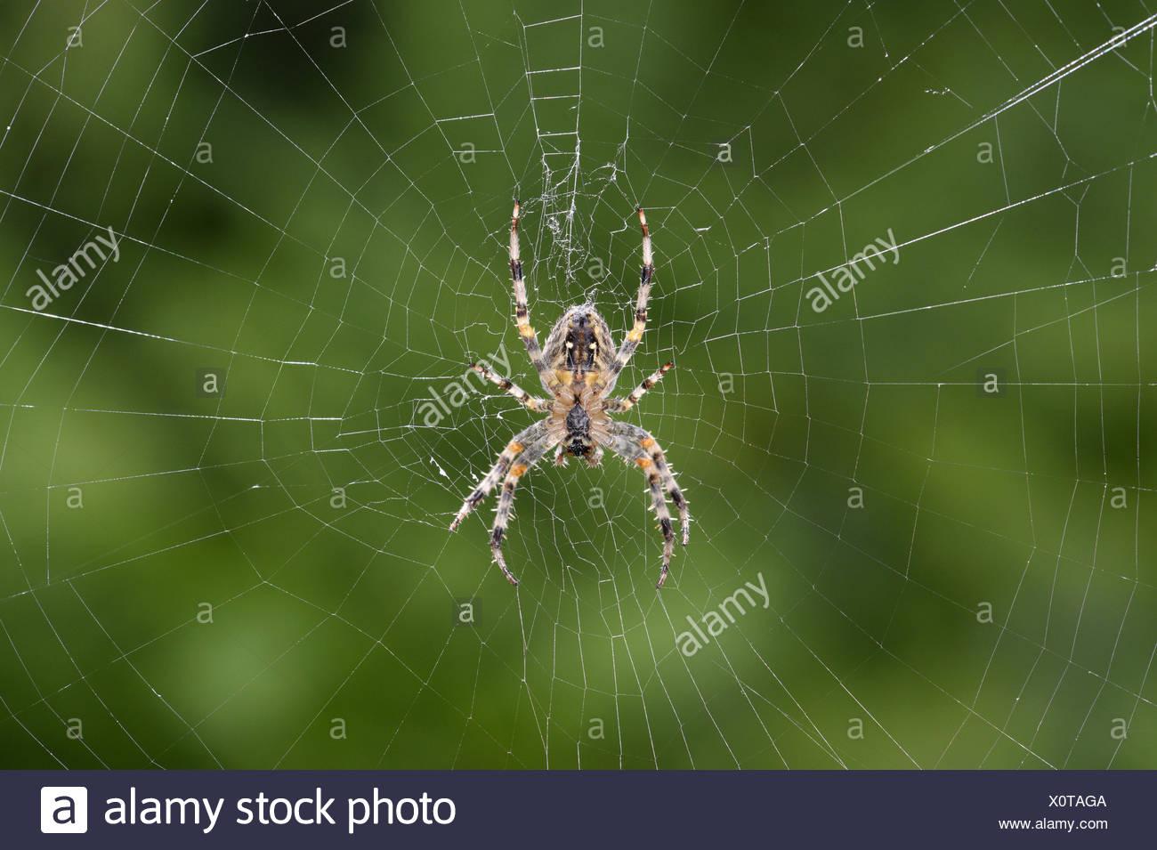 Garden Spider - Araneus diadematus in web - Stock Image