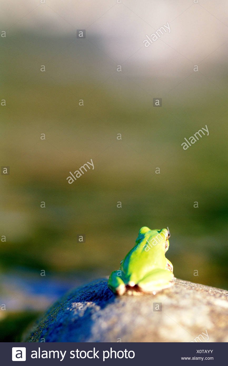 Back of a frog - Stock Image