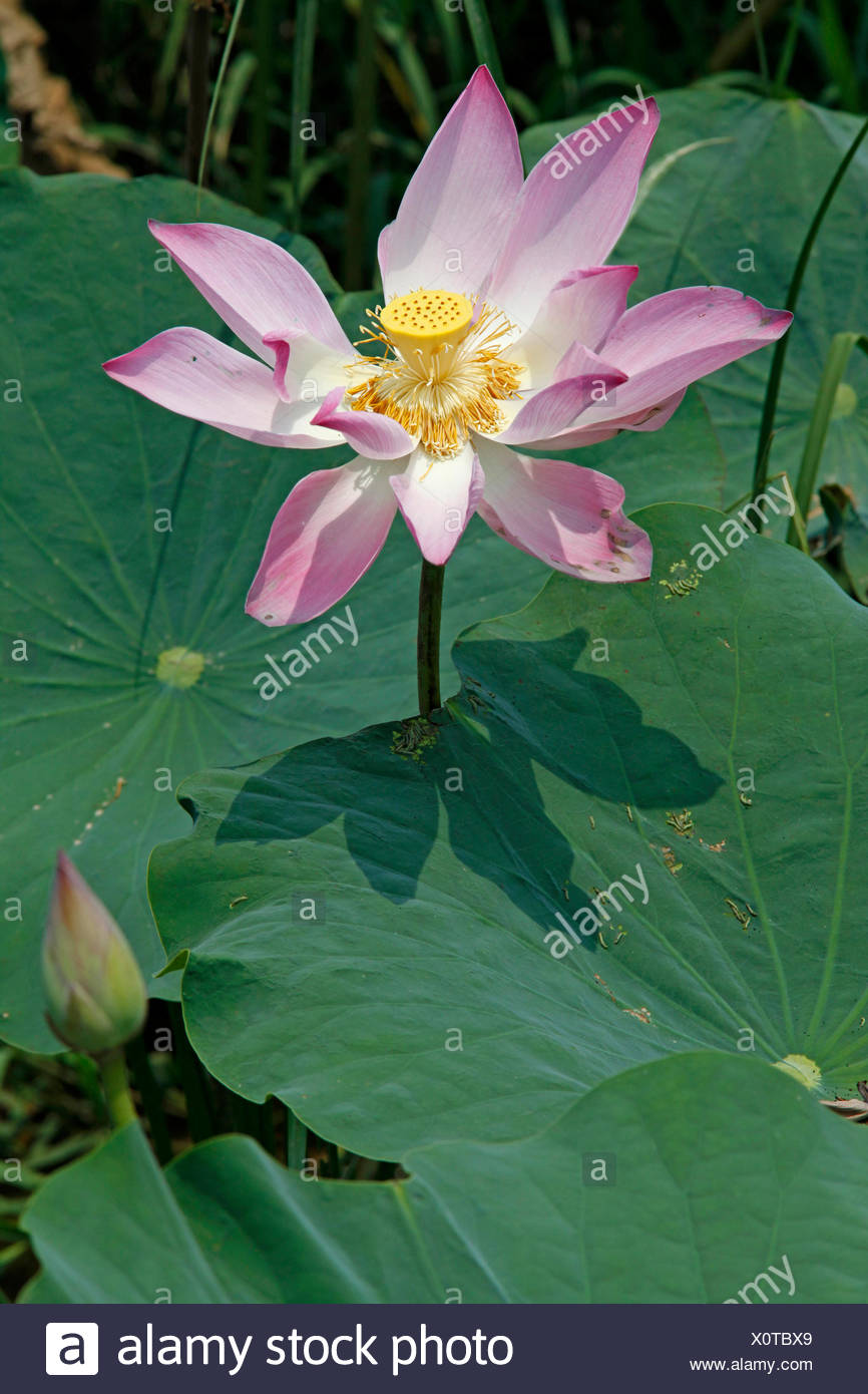 A lotus flower stock photos a lotus flower stock images alamy photo of a lotus flower against a green background stock image izmirmasajfo