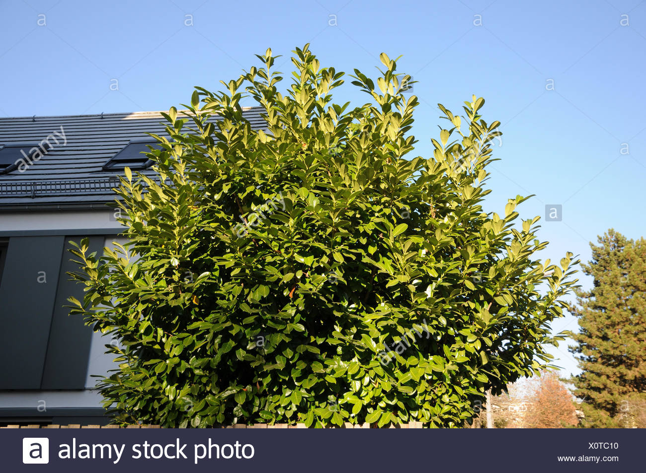 Prunus laurocerasus, Laurel cherry - Stock Image