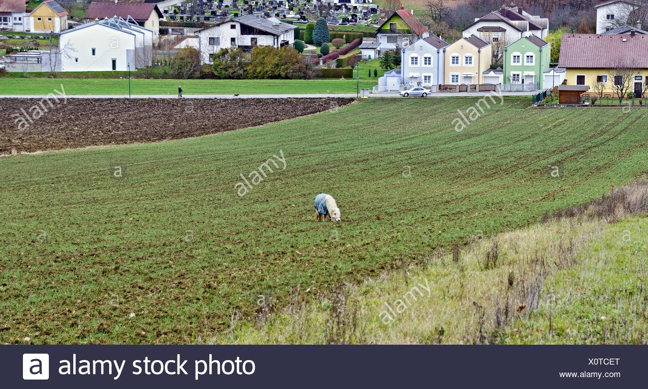 pony eating fresh germed winter seed - Stock Image