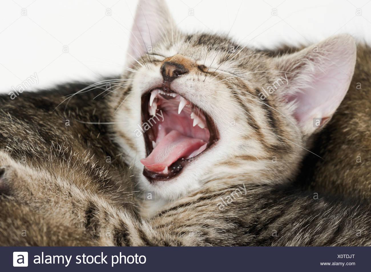 Domestic cat, kitten yawning, portrait, close-up - Stock Image