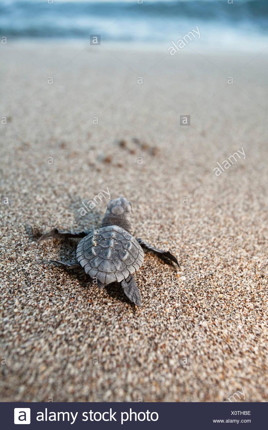 Loggerhead Sea Turtle (Caretta caretta), hatchling making its way to the sea, Lycian Coast, Turkey, Mediterranean, Asia Minor - Stock Image