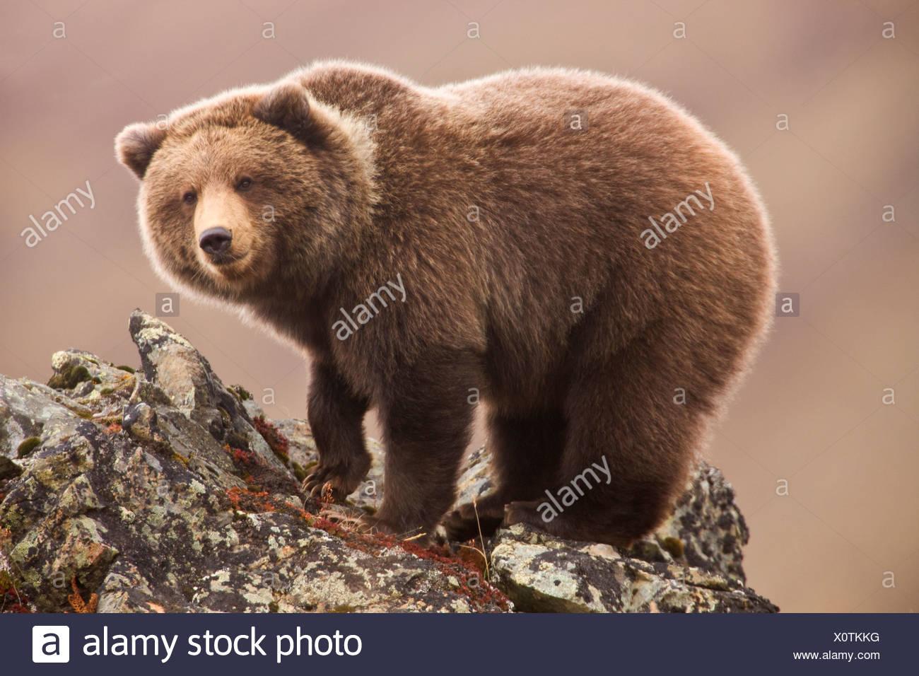 Grizzly Bear, also called Brown Bear, Denali National Park, Alaska. - Stock Image